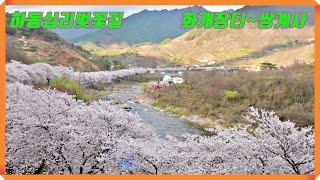 2020년3월28일, 하동 화개십리벚꽃길 (화개장터 ~…