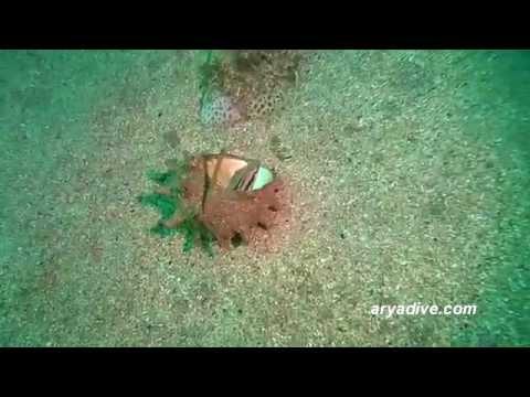 (청)두줄베도라치(Petroscirtes breviceps)~ Striped poison-fang blenny mimic,Shortheaded Fangblenny
