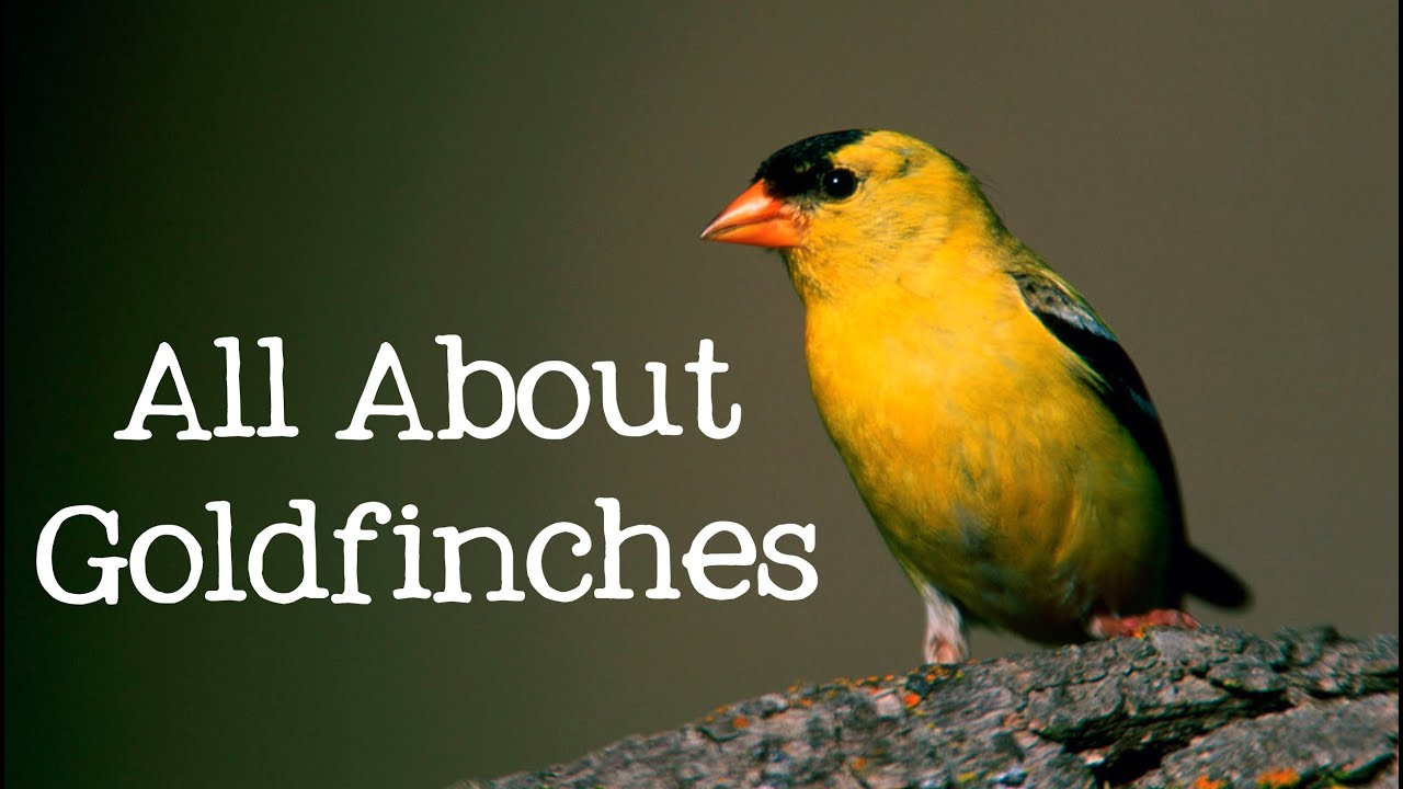 all about goldfinches backyard bird series freeschool youtube