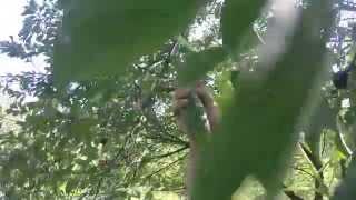 ШОК! Огурцы растут на деревьях!