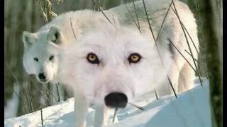 Pierre Billon Le loup blanc 1974