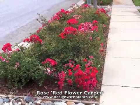Rose Red Flower Carpet Red Flower Carpet Rose Youtube