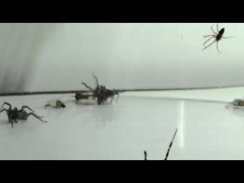 Uk spider venom at work