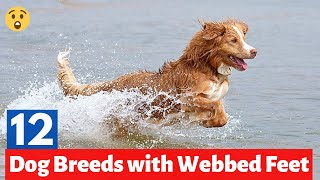 12 Dog Breeds with Webbed Feet