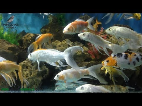 Beautiful View With Crowed Butterfly Koi Fish - Koi Fish Aquarium With Relaxing Music