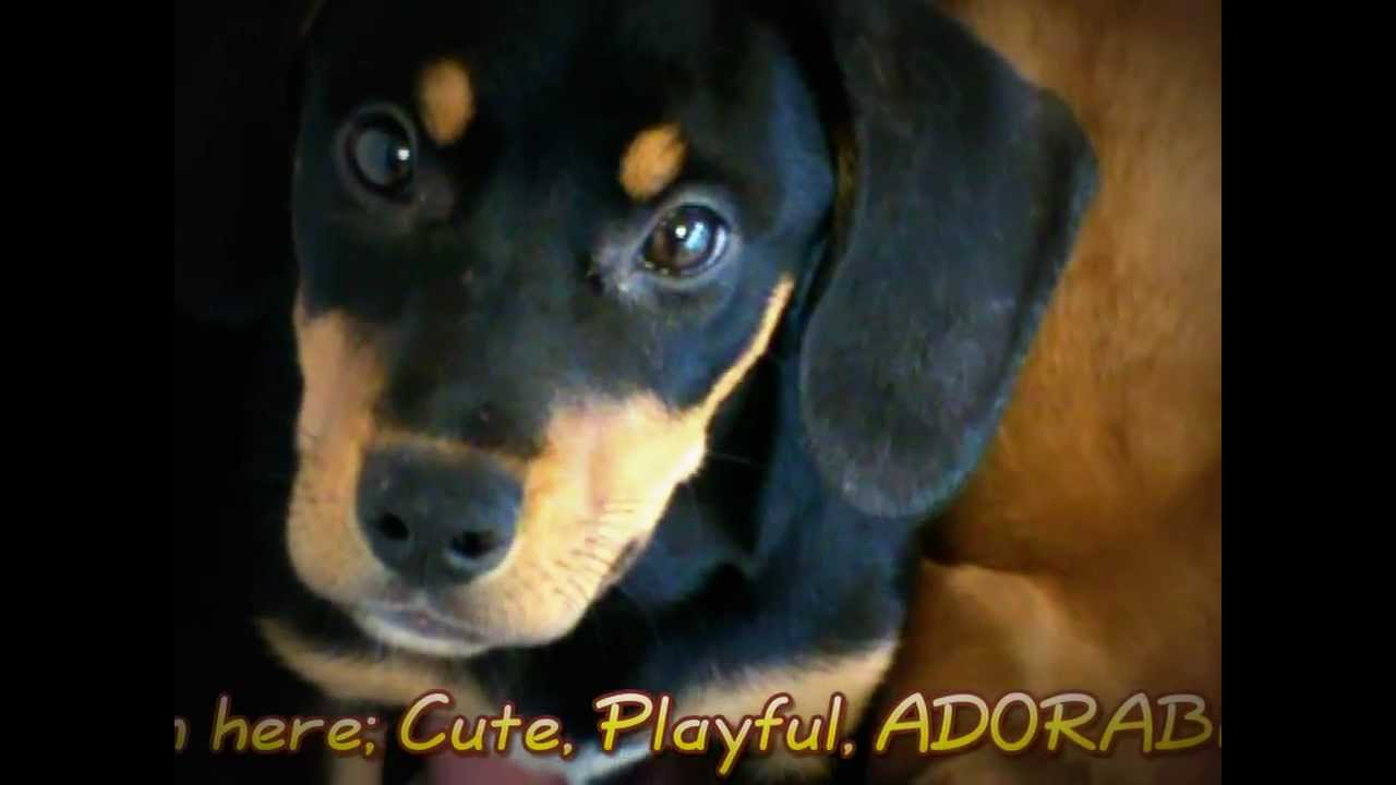 Puppiesadopted Golden Retrieverrottweiler Mix Youtube