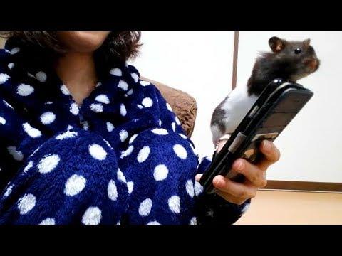 ぼくもモンストやりたいんだけど?って寄ってくるハムスター!おもしろ可愛いハムスターFunny hamster who wants to play games on a smartphone!