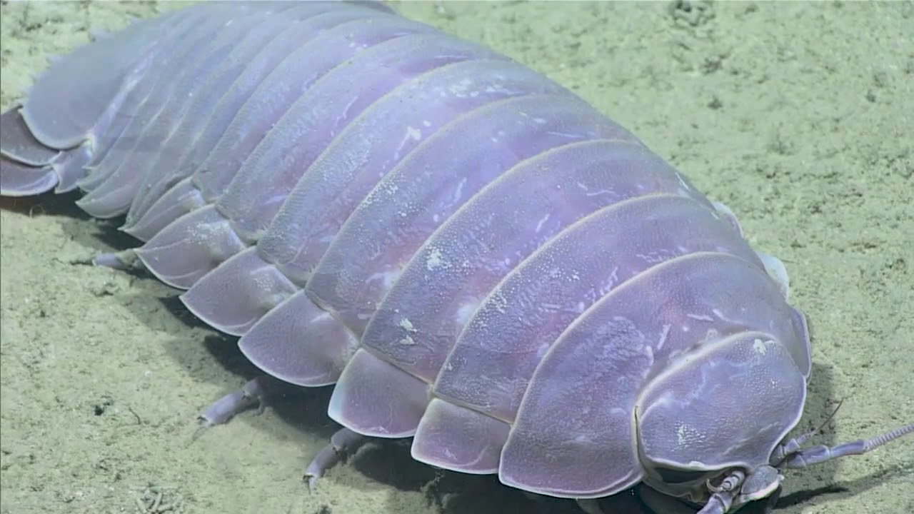 Giant Isopod Gulf Of Mexico 2017 Youtube