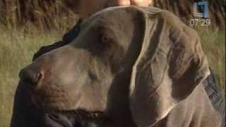 "Weimaraners In Lithuanian Morning Tv Show ""labas Rytas"""
