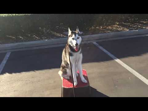 HUSKY PUPPY TRAINING DOWNTOWN SAN DIEGO | ONXY
