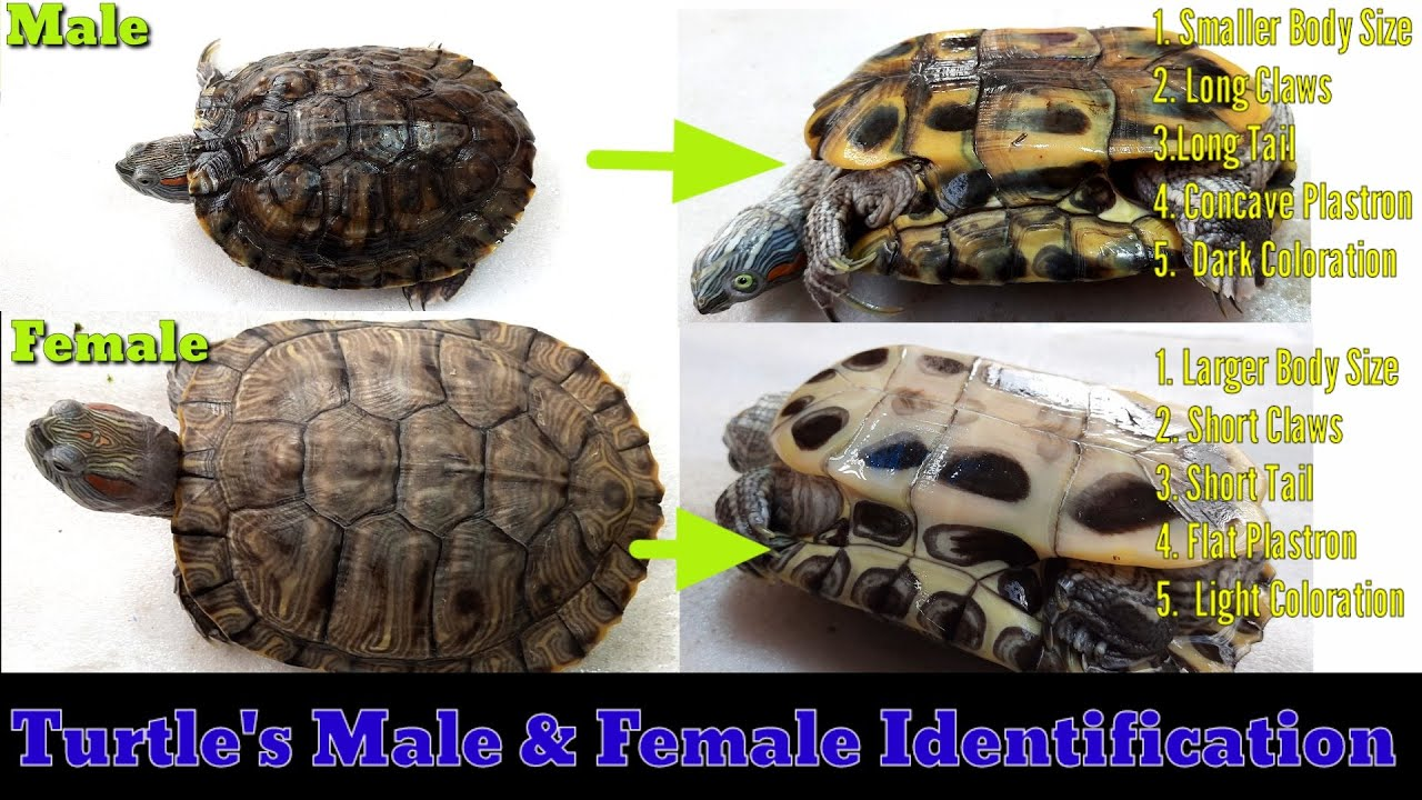 Male Red Eared Slider Real Turtle Shell 6-7 inch Long
