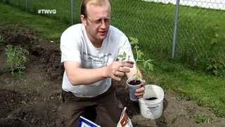 Planting Tomatoes In The Ground & In A Girdle- The Wisconsin Vegetable Gardener Extra 49