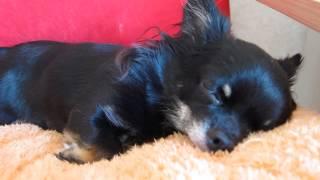 狆チワワとチワワのブログです。 http://ameblo.jp/kachi-haro-noa/ 「...