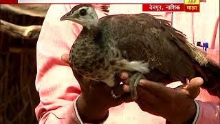 स्पेशल रिपोर्ट : नाशिक : देवपूरमध्ये मोराच्या पिलांना कोंबडीच्या पंखांखाली जीवदान