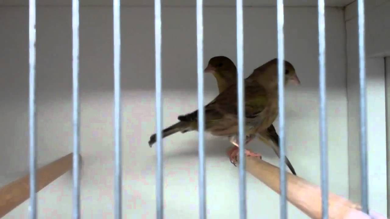 goldfinch mules for sale clipsley pets u0026 aquatics youtube
