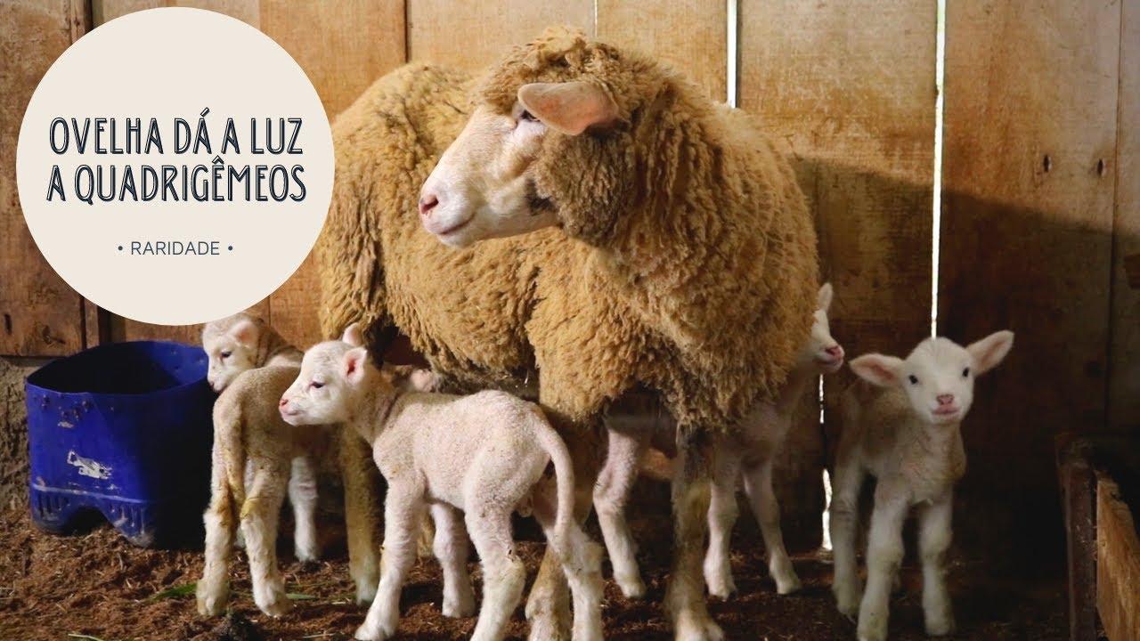 RARIDADE | Ovelha dá a luz a quadrigêmeos!