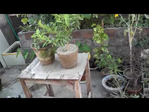 Lemon Tree Maintenance | Lemon Plant Repotting | Root Pruning | September-2016 (Urdu/hindi)