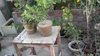 Lemon Tree Maintenance   Lemon Plant Repotting   Root Pruning   September-2016 (Urdu/hindi)