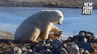 Repeat youtube video Polar bear stuns onlookers by petting dog instead of eating it