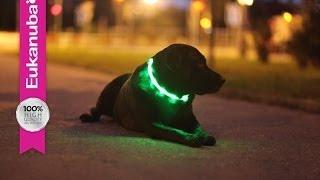 Svítící obojky pro psy jako dárek zdarma | Eukanuba-shop.cz