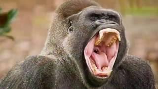 Ataque de Leones a Personas en VIVO   Cuando los animales atacan leon vs humanos