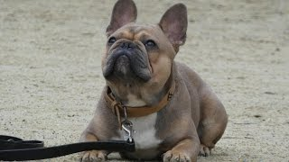 Blue - French Bulldog - 2 Weeks Residential Dog Training