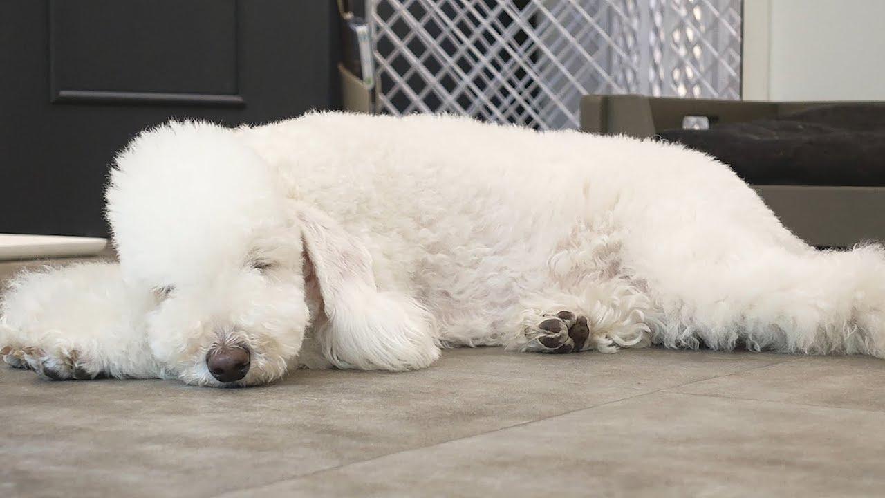 강아지가 잠드는 과정 (feat. 슈)