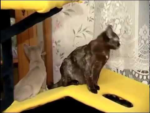 Бурманская кошка: мускулистый крепыш - YouTube