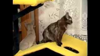 Бурманская кошка - Все О Породе