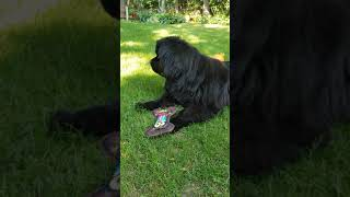 Newfoundland dog 6th birthday