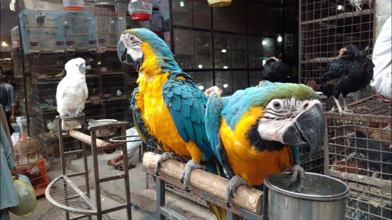 Birds Market Beautiful Parrots in Cheap Price   Farhan Ansari
