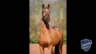 'BUBBLES' 2014 mare by BEST OF GOLD (Belissimo M x Diamond Hit)