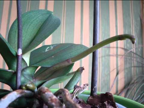 Как растет цветонос у орхидеи