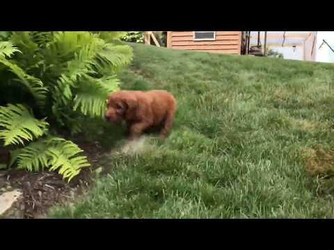 Emma Goldendoodle Puppy for sale