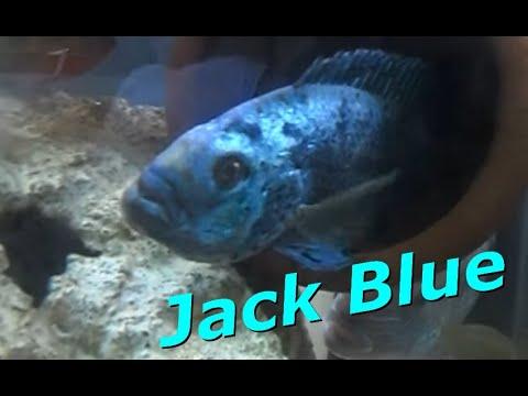 Jack Blue - Aqua Peixes RJ
