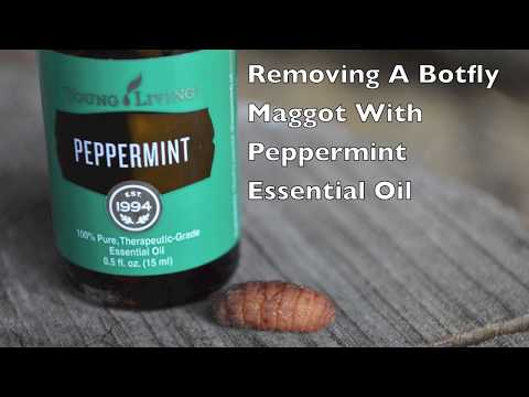 Removing A Botfly Maggot With Peppermint Essential Oil.