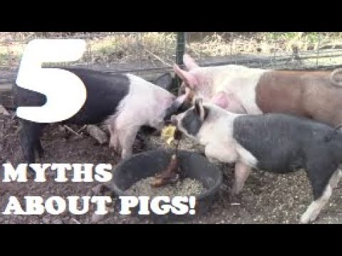 5 MYTHS ABOUT PIGS!?! Watch Before You Decide Not To Raise Pigs
