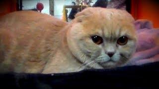 ЗЛОЙ Вислоухий Шотландец - ВЫСТАВКА Кошек | ПОРОДЫ КОШЕК