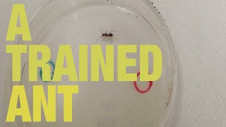 Ucr Scientists Train An Ant