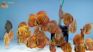 Alenquer Discus offspring Super Flame of the forest