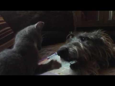 Kitten v Deerhound