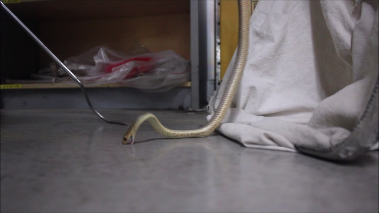 late night eastern brown snake from warehouse december 2016