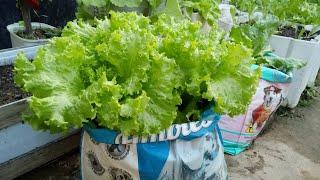 Como Plantar Alface Em Sacos Plásticos – Cultivando Verduras Em Casa