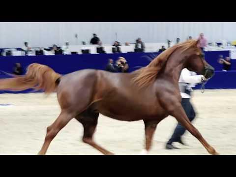 Best of Dubai International Arabian Horse Fair 2019 || A parade of stunning horses !!