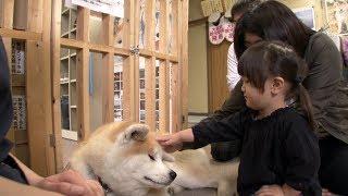 日本固有の犬、秋田犬。丸い顔に三角の耳、くるりと丸まった尻尾が特徴...