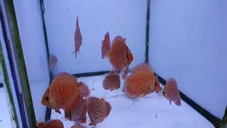 Discus Fish For Sale scarlet snake skin at Discus Fish Sales
