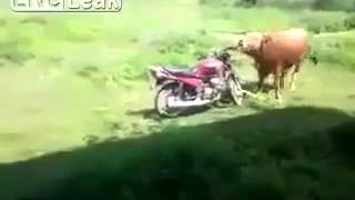 Horny  bull and motorcycle