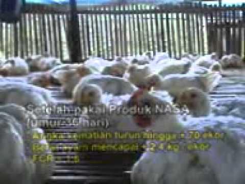 TEKNIK BUDIDAYA AYAM POTONG BROILER 085786591755 - YouTube
