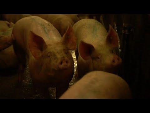Schweine leiden vor der Schlachtung | Report Mainz