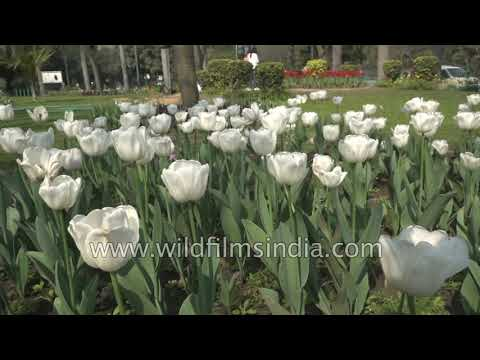 Tulips Flower Between Roads And Roundabouts In Wintery Delhi